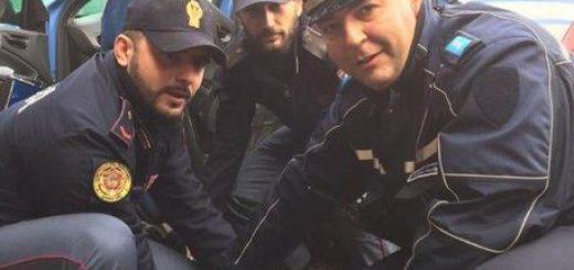 Polizia Modena slava un vitellino