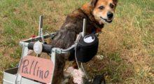 Cagnolino disabile tenuto alla catena e mai curato, ora sta meglio, cammina ed è pronto per una vera casa