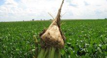 Agricoltura, in arrivo 1,5 milioni per sostenere la coltivazione della barbabietola da zucchero