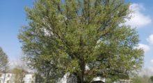 Motta di Cavezzo, lezione di dendrosofia sotto un albero monumentale