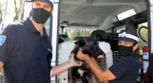 Pit, dalla Spagna a Modena, cane antidroga al servizio della Polizia Locale