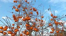 Sale sull'albero per raccogliere la frutta e cade, ferito un 77enne a Camposanto